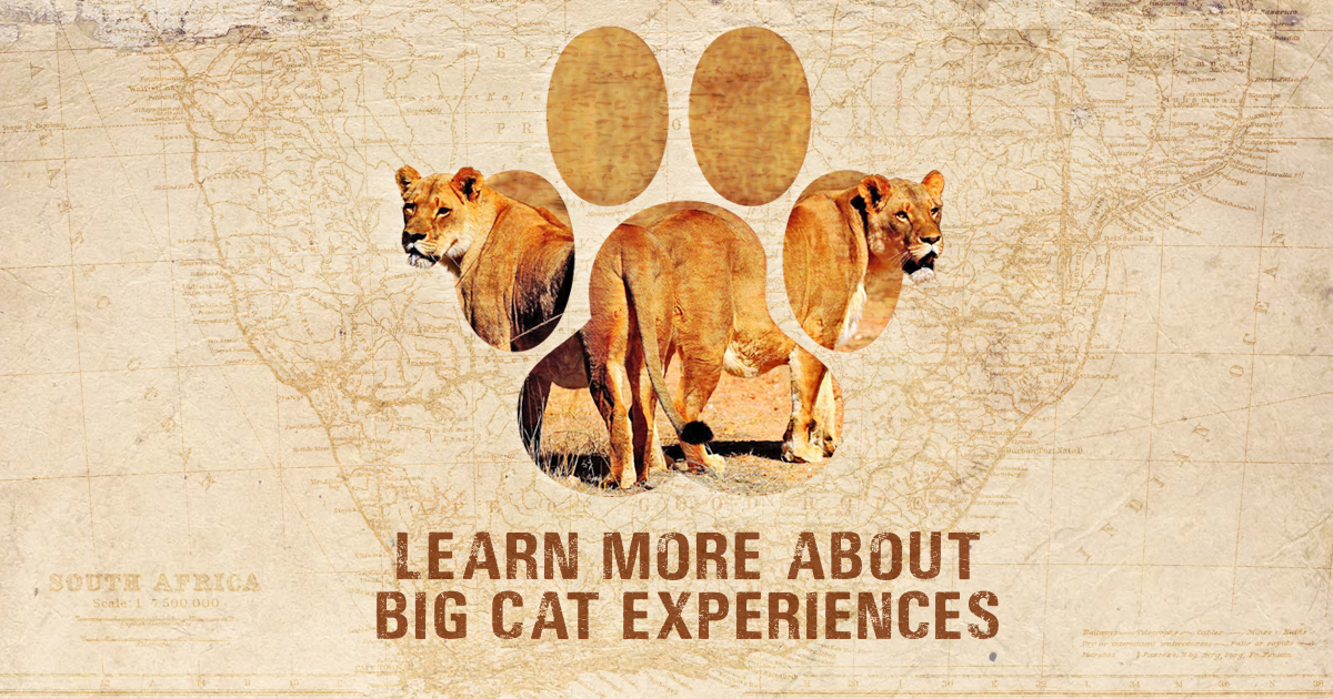Big Cat Experience Featured Image